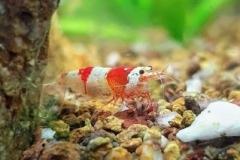 Bubble-bee-shrimp