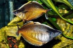Chilatherina-fasciata-Clearwater-Creek