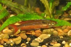 Rhadocentrus-Ornatus-Teewah-Ck-3