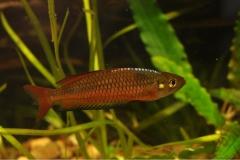 Rhadocentrus-Ornatus-Teewah-Ck-4