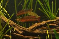 Rhadocentrus-Ornatus-Teewah-Ck-7